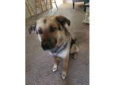 Adopt John Wayne a Black - with Tan, Yellow or Fawn German Shepherd Dog /