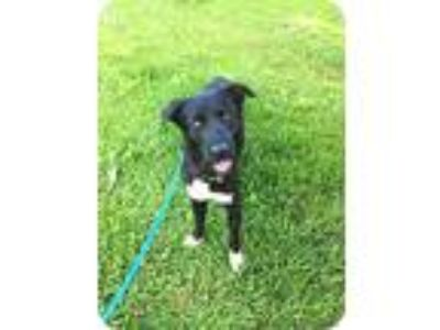 Adopt White Sox a Black - with White Border Collie / Labrador Retriever / Mixed