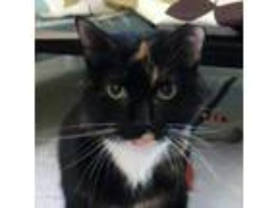 Adopt Mavis a All Black Domestic Shorthair / Domestic Shorthair / Mixed cat in