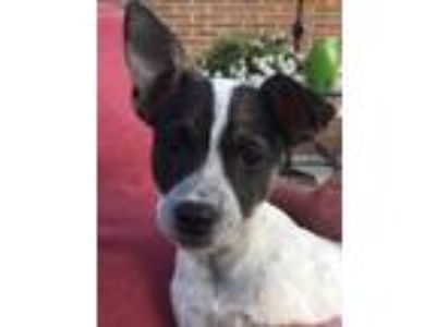 Adopt Zahara a Black Jack Russell Terrier / Mixed dog in West Allis