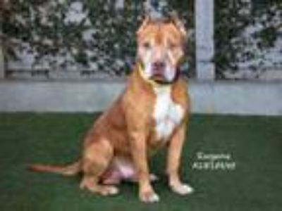 Adopt EUGENE a Mixed Breed, Pit Bull Terrier