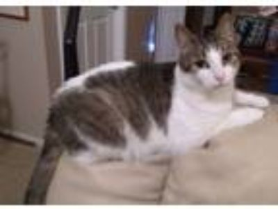 Adopt Poppy ~ adorable kitty! a Tabby, Domestic Short Hair
