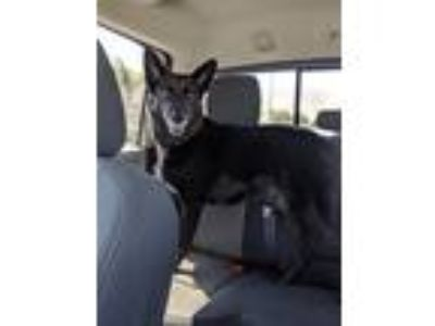 Adopt Luna a Black German Shepherd Dog dog in Winchester, CA (25487617)