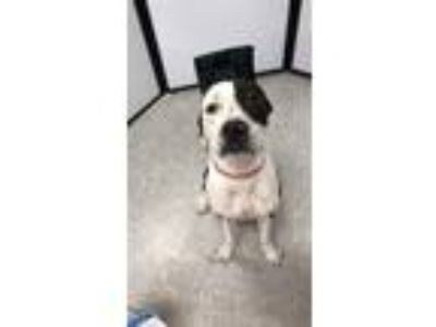 Adopt Tyson a White - with Black Boxer / American Pit Bull Terrier / Mixed dog