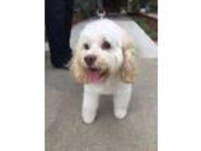 Adopt Gracie a Cockapoo / Mixed dog in El Cajon, CA (23709253)