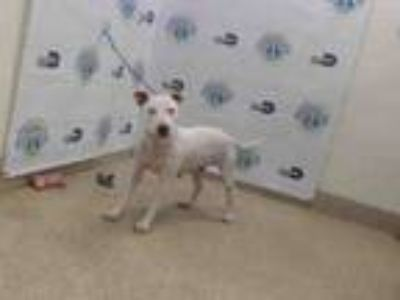 Adopt PIPER a Bull Terrier, Mixed Breed