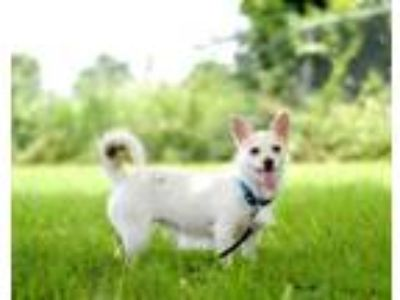 Adopt Zoey a White Terrier (Unknown Type, Small) / Mixed dog in Leander