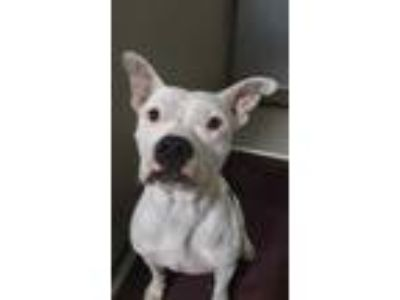 Adopt *DOMINO a White - with Black American Pit Bull Terrier / Mixed dog in