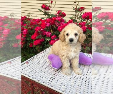 Poodle (Toy) PUPPY FOR SALE ADN-130125 - Apricot Toy Poodles