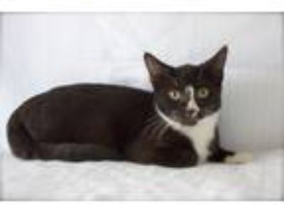 Adopt Bunny a Black & White or Tuxedo Domestic Shorthair (short coat) cat in