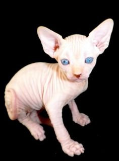 $300, quality sphynx kittens ready for adoption