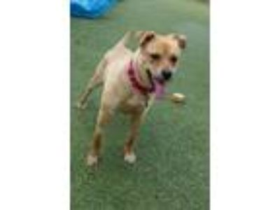 Adopt Misty a Labrador Retriever, Yellow Labrador Retriever