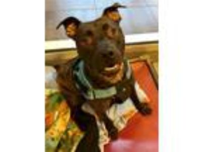 Adopt Miracle a Pit Bull Terrier