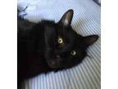 Adopt MARY a All Black Domestic Mediumhair / Mixed cat in Woodstock