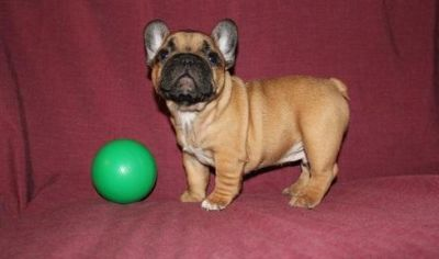AKC quality French Bulldog Puppy