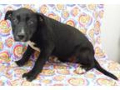 Adopt Ina a Black - with White Labrador Retriever / Mixed Breed (Large) / Mixed