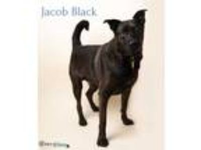 Adopt Jacob Black a Black Labrador Retriever / Mixed dog in Fairhope