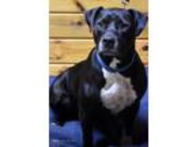 Adopt Allie a Black Labrador Retriever, American Staffordshire Terrier