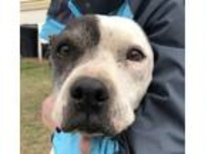 Adopt Reba a American Staffordshire Terrier