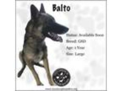 Adopt Balto a German Shepherd Dog