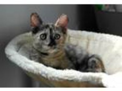 Adopt Ronan19 a Domestic Shorthair / Mixed (short coat) cat in Youngsville