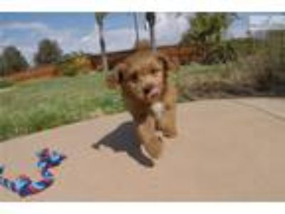 Goldendoodle Puppies - San Diego Classifieds - Claz org