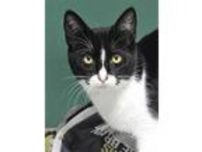 Adopt Neil Young a Domestic Short Hair