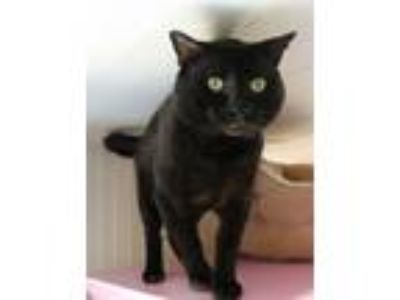 Adopt Frankie a All Black Domestic Shorthair / Mixed (short coat) cat in