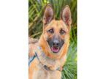 Adopt Mona a Red/Golden/Orange/Chestnut - with Black German Shepherd Dog / Mixed
