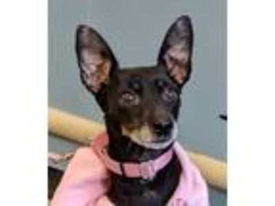 Adopt Daisy - Adoption Pending a Black - with Tan, Yellow or Fawn Miniature