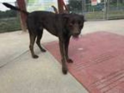 Adopt Lincoln a Brown/Chocolate Labrador Retriever / Mixed dog in Fort Worth