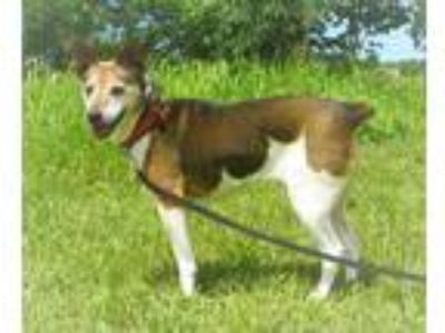 Adopt Trudy a Tan/Yellow/Fawn - with White Rat Terrier / Mixed dog in Centerton