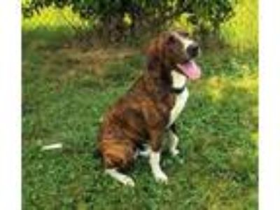 Adopt MY PAL JOEY a Mountain Cur / Mixed dog in Spring Valley, NY (25513318)