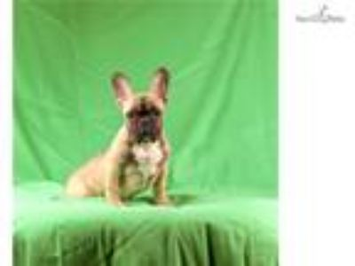 Tiby - French bulldog female puppy, Boston, MA