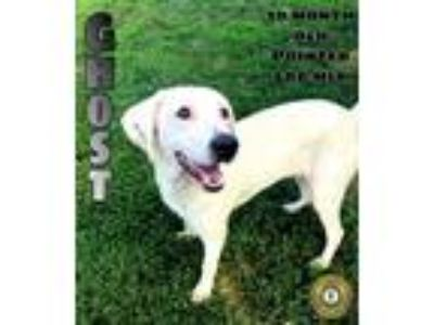 Adopt Ghost a Pointer, Labrador Retriever