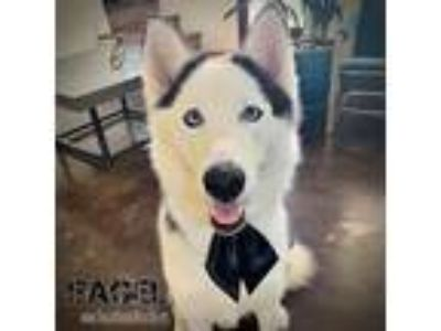 Adopt Bagel a Black - with White Siberian Husky / Mixed dog in Carrollton
