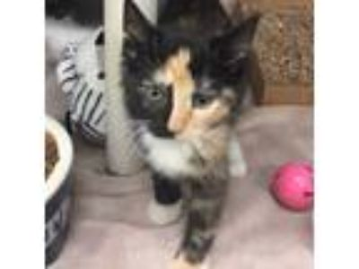 Adopt Veronica a Domestic Short Hair