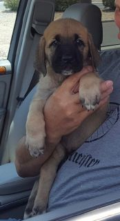 Kangal Dog PUPPY FOR SALE ADN-91375 - Turkish Malakli Pups