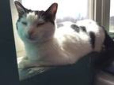Adopt Audra a Domestic Short Hair
