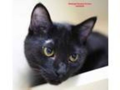 Adopt Shadow a All Black Domestic Mediumhair / Domestic Shorthair / Mixed cat in