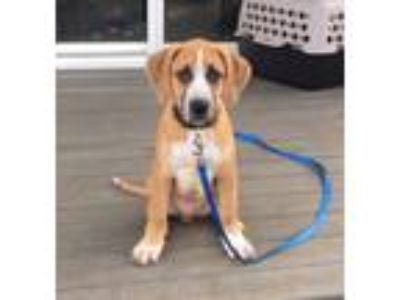 Adopt Benny a Boxer, Whippet