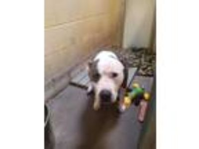 Adopt Sway a Pit Bull Terrier