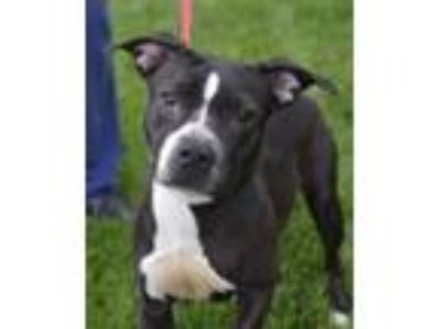 Adopt Hannah a Black - with White Pit Bull Terrier / Staffordshire Bull Terrier