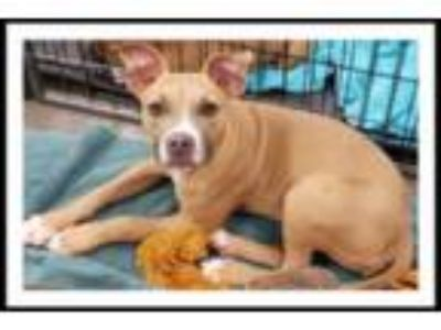 Adopt SUMMER a Tan/Yellow/Fawn - with White Pit Bull Terrier / Mixed dog in