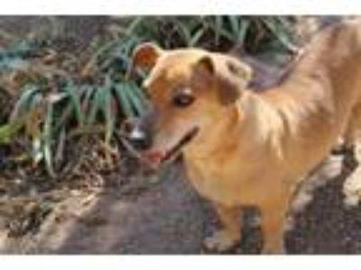 Adopt Kohl a Dachshund, Basset Hound