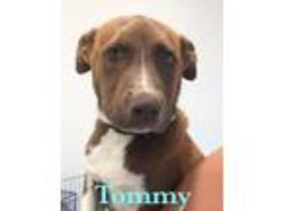 Adopt Tommy a Collie, Cattle Dog