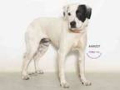 Adopt KILO a Beagle, Mixed Breed