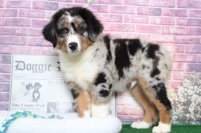 Australian Shepherd PUPPY FOR SALE ADN-95849 - Elvis Very Sweet Male Aussie Puppy