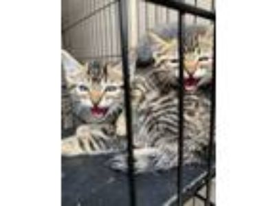 Adopt Kitten a Gray, Blue or Silver Tabby Bengal (medium coat) cat in Santa