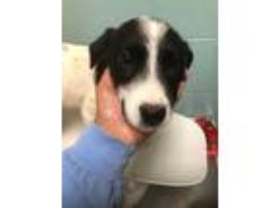 Adopt Doc a White Border Collie / Catahoula Leopard Dog / Mixed dog in Cheyenne